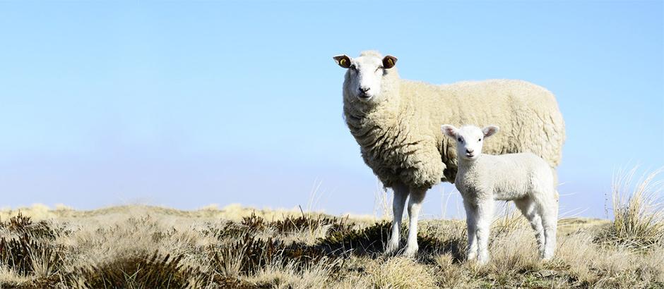 Sylt-Urlaub-Schafe